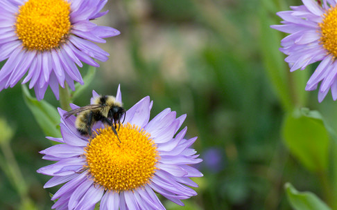 high alpine daisies and bumblebee