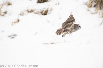 Focused: Barred Owl 7