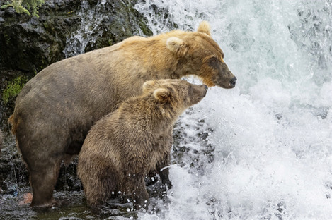 Brown Bear mother and 2nd-year cub