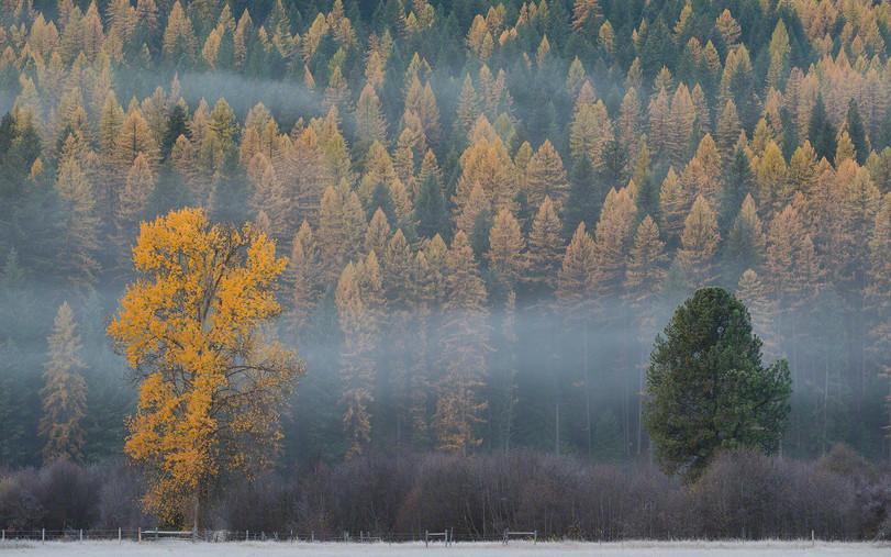 Autumn larches Ninemile valley
