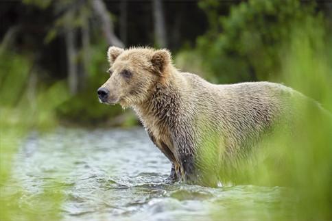 Brown Bear, Brooks River