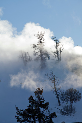 Mammoth hot springs trees and steam