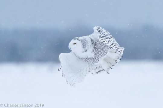 Female snowy owl in the snow
