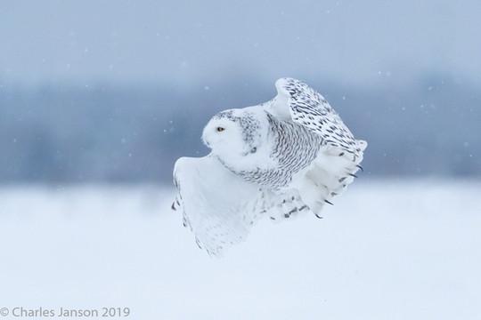 Female snowy owl in the snow