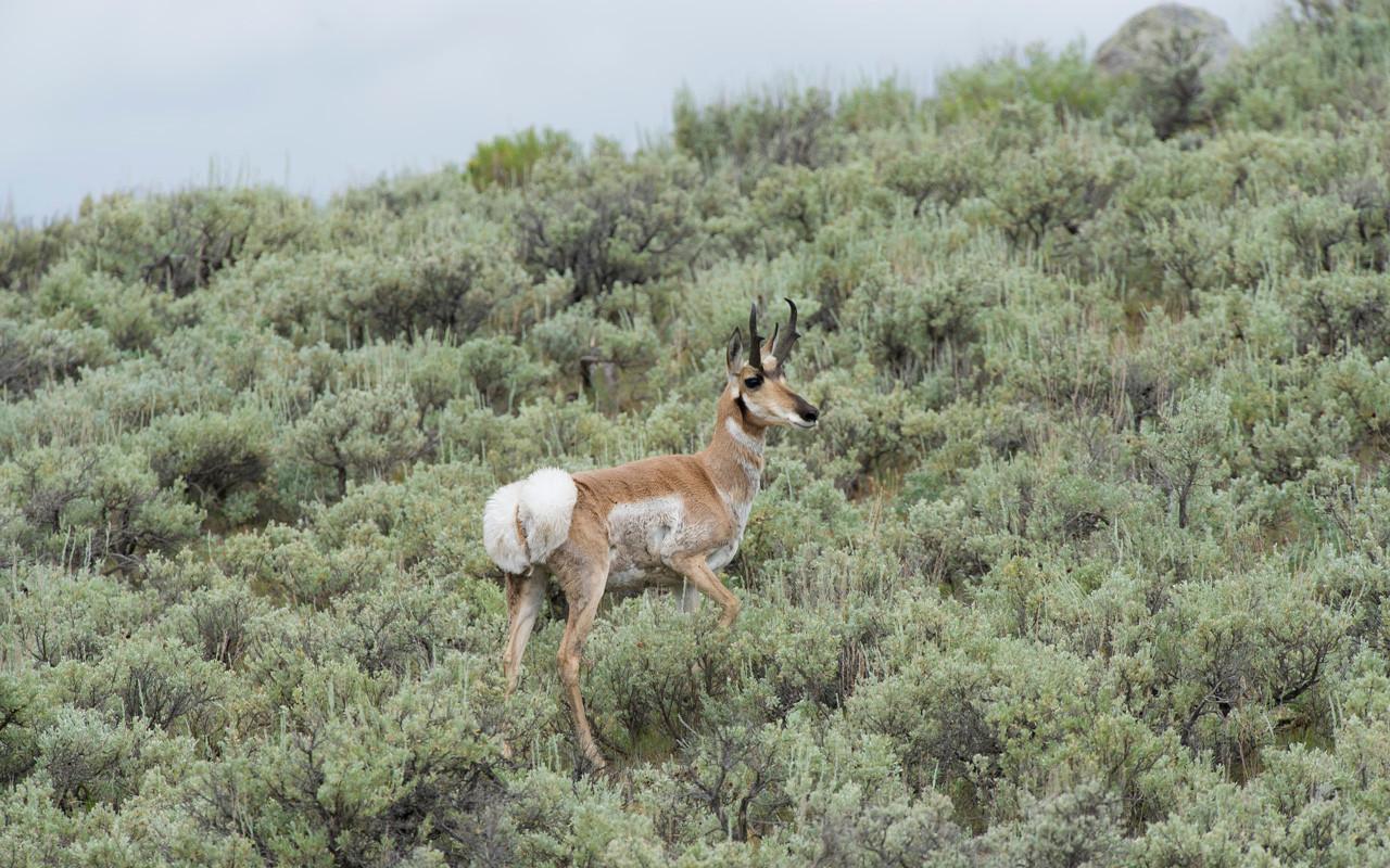 Pronghorn male on alert