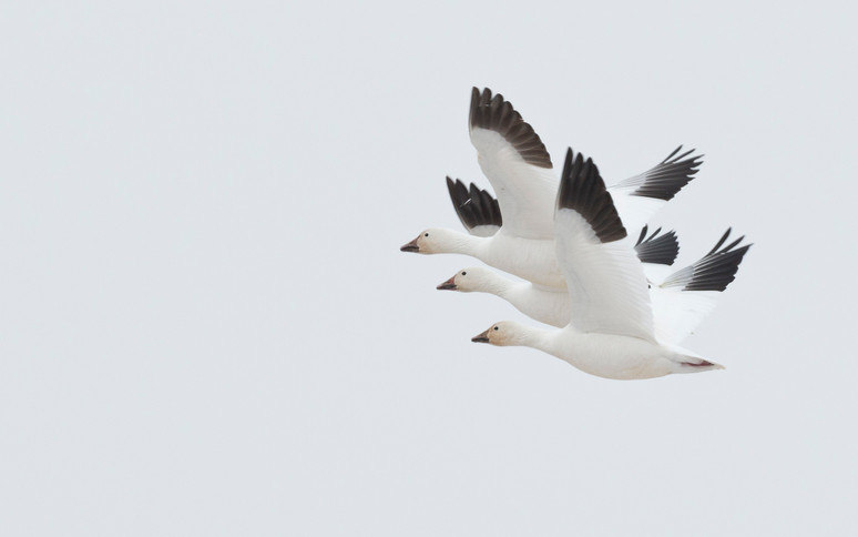 Perfect flight formation snow geese