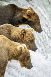 Brown Bears standing in line to fish, Brooks Falls