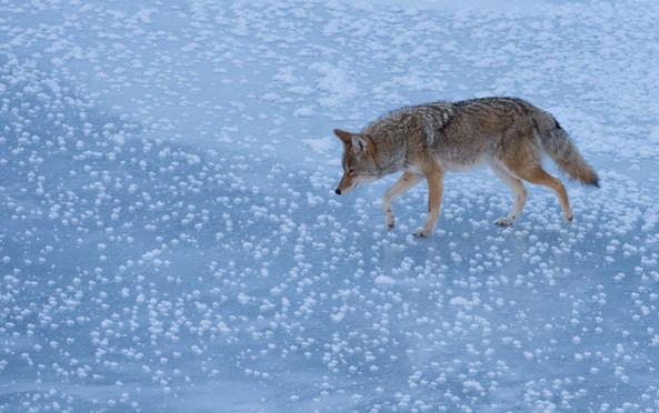 Coyote Deep Freeze