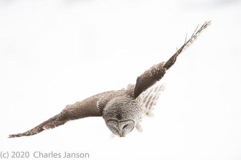 Focused: Barred Owl 3