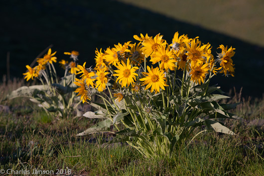 Balsamroot flowers, NBR