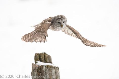 Focused: Barred Owl 2