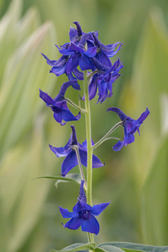 Larkspur, alpine zone, CO