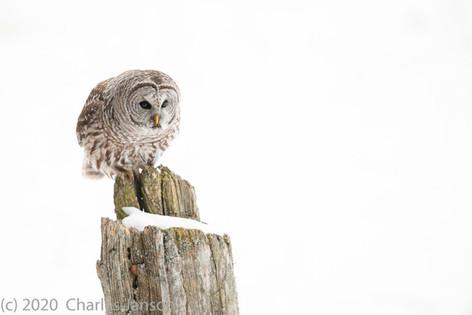 Focused: Barred Owl 1