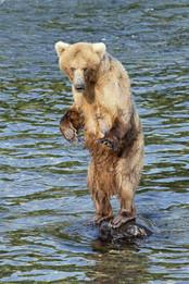 Brown Bear female standing on a rock, Brooks Falls