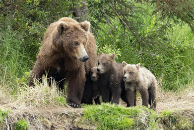 Brown Bear female with three cubs-of-the-year (COY)