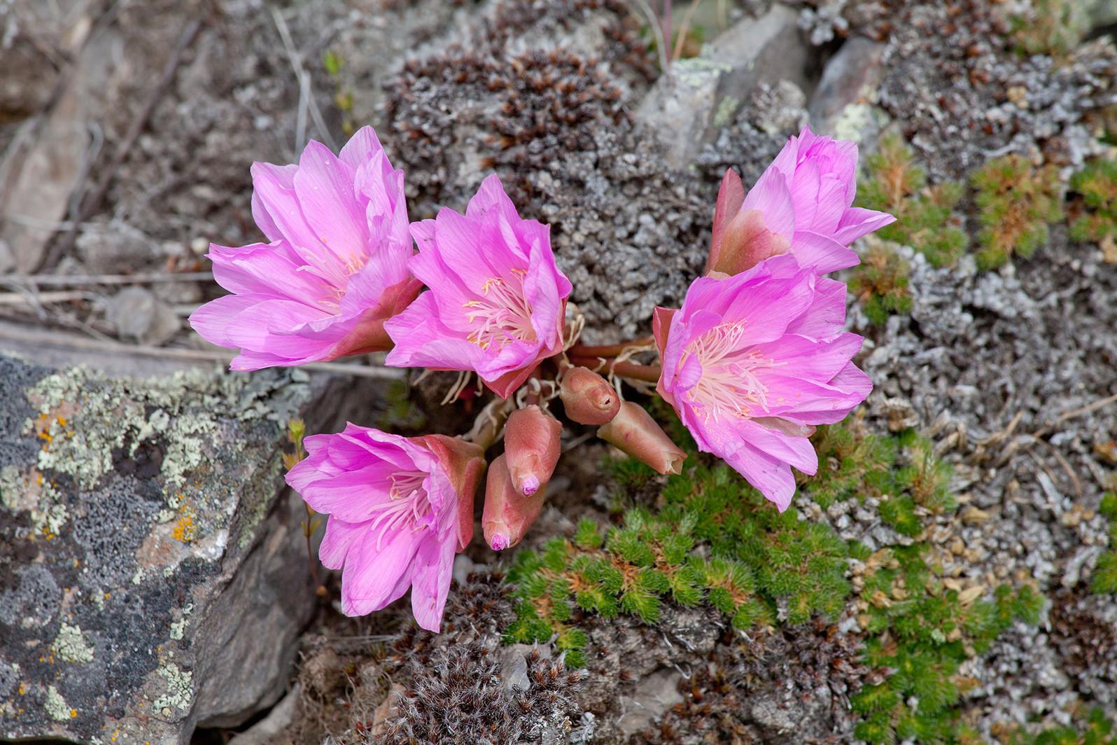 Bitterroot plant in flower