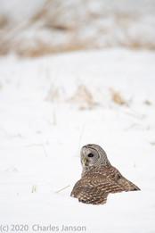 Focused: Barred Owl 5