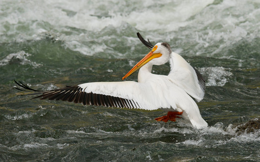 White pelican LeHardy rapids