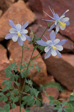 Blue columbine flowers Red Mountain