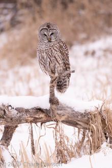 Focused: Barred Owl 8