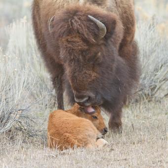 Bison mom licking newborn