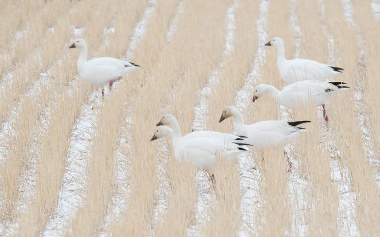 Wheat rows white geese