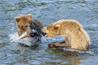 Brown Bears fighting over a salmon, Brooks Falls