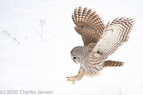 Focused: Barred Owl 4