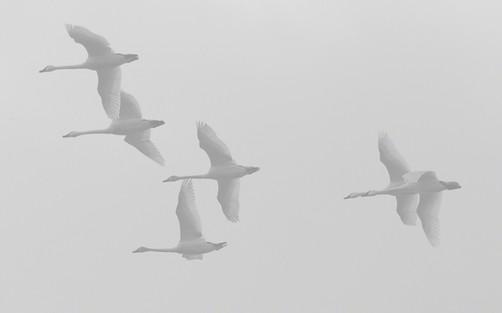 Tundra swans on a grey morning