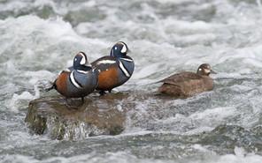 Harlequin ducks LeHardy rapids