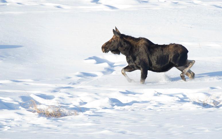 Running moose deep snow