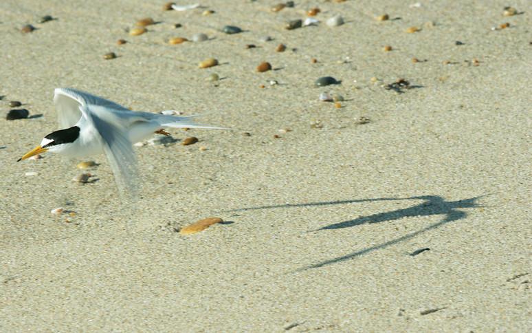 Least tern's shadow