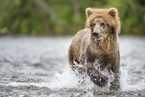 Brown Bear, Brooks Falls, Alaska