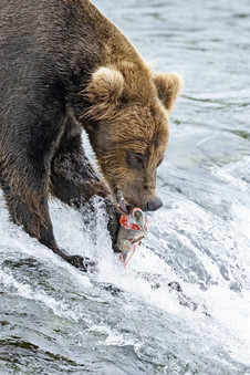 Brown Bear fishing, Brooks Falls