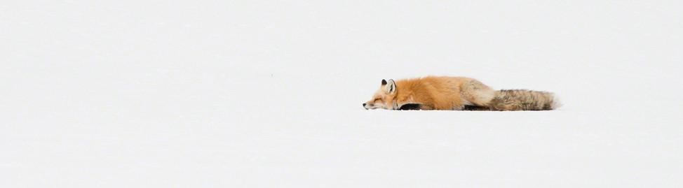 Sleeping fox snow