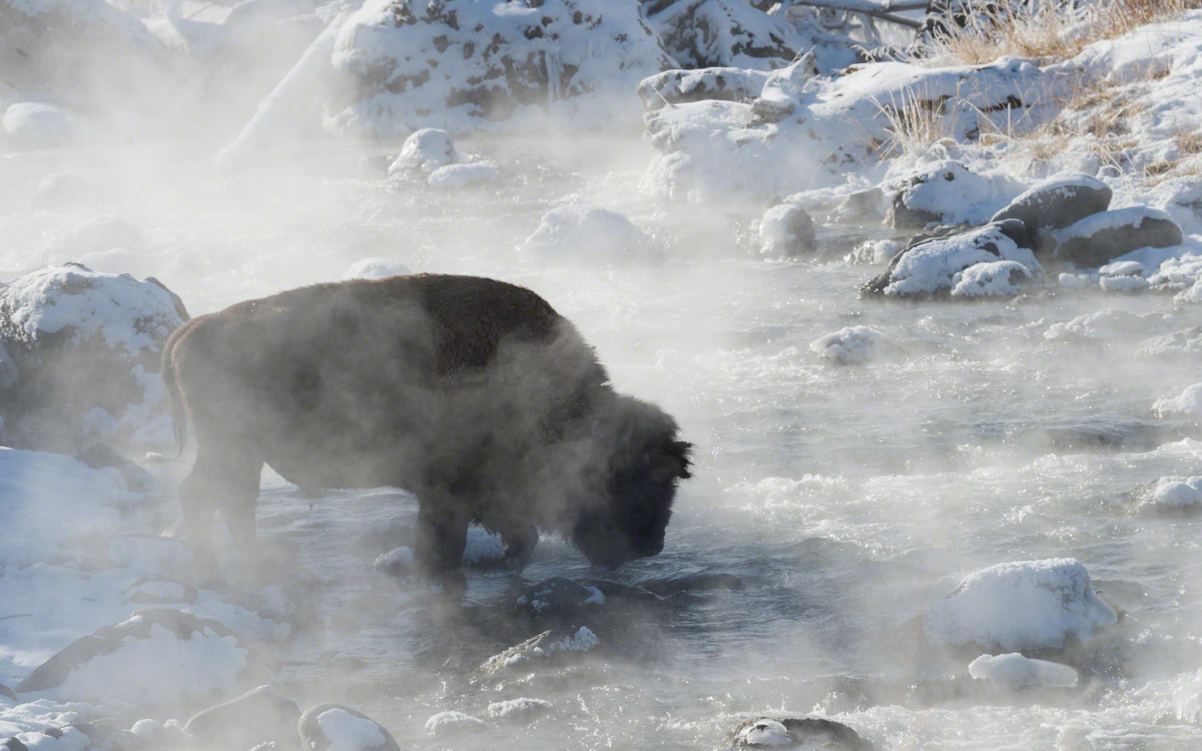 Steamy bison