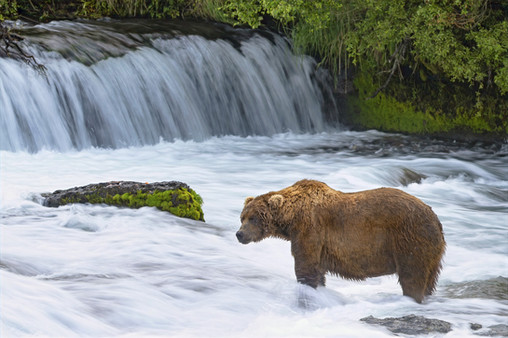 Large male Brown Bear, Brooks Falls