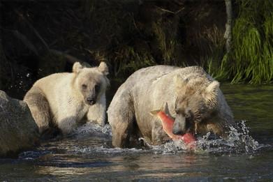 Very pale Brown Bears