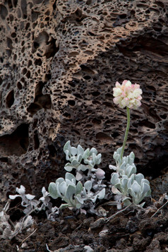 Dwarf Buckwheat and lava
