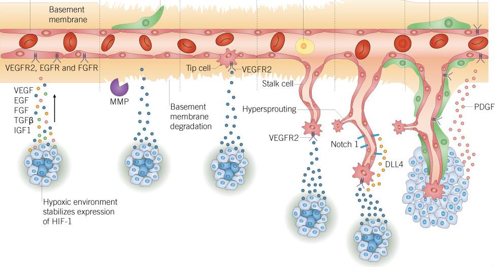 缺氧與血管新生的關係