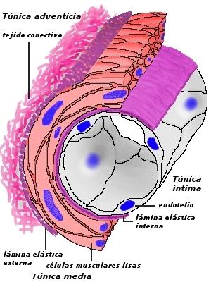 血管結構與FGF 及VEGF關係