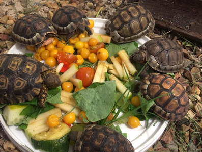 Angulate tortoise hatchlings (2021)