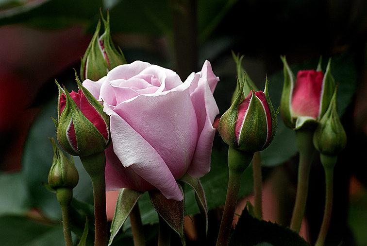 blossom-plant-flower-petal-rose-green-17