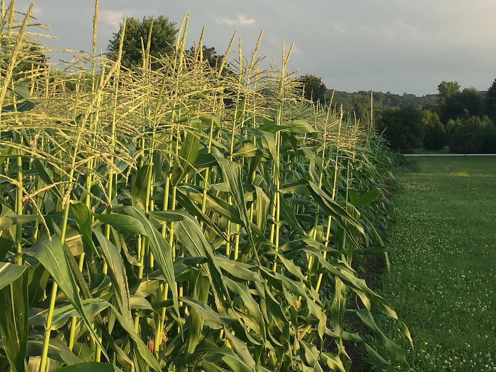 The corn at it's peak