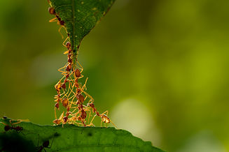 a group of ants creating a bridge to get to a leaf