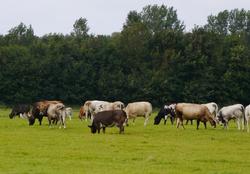 Weiland koeien Bergen