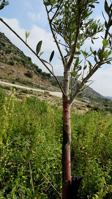 A young olive tree is marked for destruction
