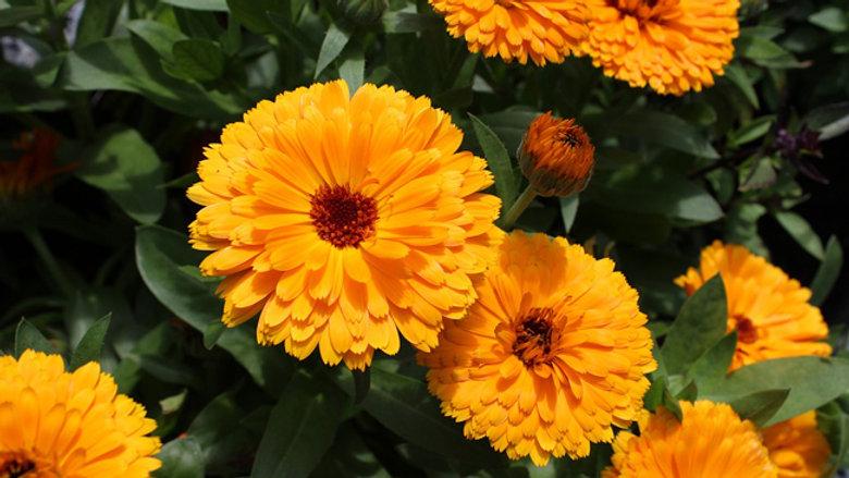 Soucis (Fleur de)