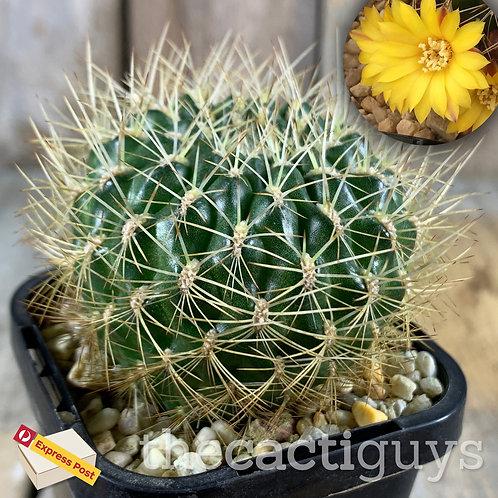 Sulcorebutia muschii (CG) 68mm pot