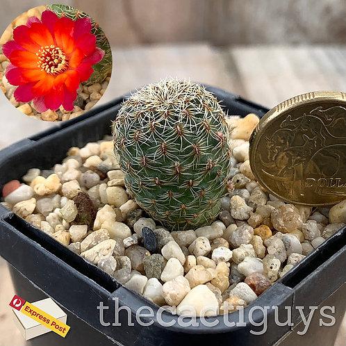 Sulcorebutia canigueralii (CG) 68mm pot